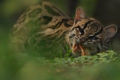 Margay (Ami 211) Tags: feline bigcats felidae leopardus margay smallcats felinae leoparduswiedii mydeadly60