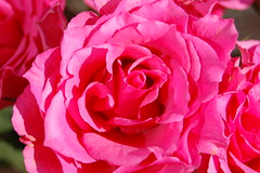 Roses (DaveJC90) Tags: pink blue light roses sky flower detail macro green rose closeup start spring focus beginning