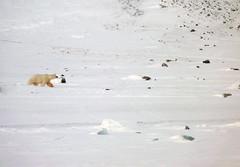 Hello Polar bear! (Nordic Visitor) Tags: travel photography svalbard glaciers nordic polarbears spitsbergen snowmobile longyearbyen dogsled spitzbergen noorderlicht tempelfjorden nordicvisitor