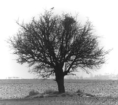 The magpie's tree (Alexis_V (Very Busy)) Tags: winter bw snow tree bird field greece magpie birdsnest northerngreece macedoniagreece trilofos