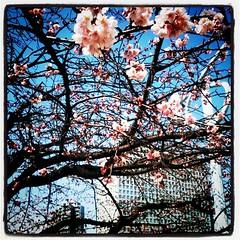 大寒桜。ランチのついでに永代橋を渡って桜チェック。枝先から咲き始めてる。