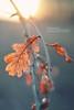 hot & cold (Youronas) Tags: autumn sunset orange sun nature leaves 30 canon germany bayern deutschland bavaria leaf sonnenuntergang dof cross bokeh dusk 14 herbst sigma franconia 7d processing franken sonne blätter abenddämmerung tiefenschärfe crossentwicklung