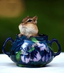 Splenda (SavingMemories) Tags: cute mouse rodent squirrel critter sugar chipmunk splenda chippy sugarbowl backyardwildlife flowerdesign savingmemories suemoffett splendatheartificialsweetener usedfeb272012