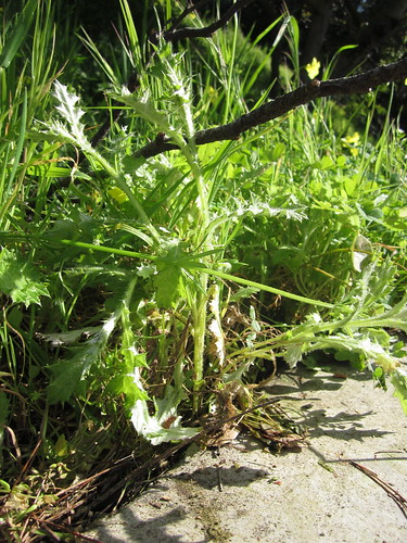 Young Thistle Plant