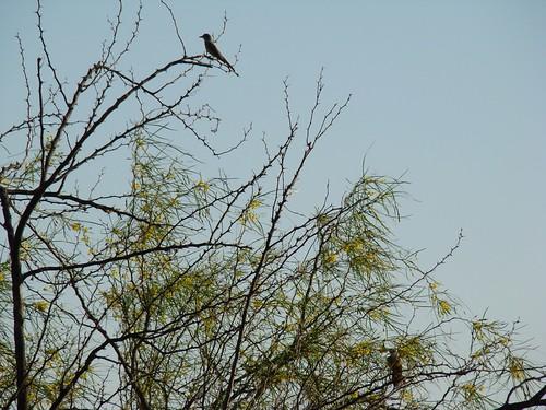 Palo Verde, (Parkinsonia aculeata), arbusto que da el nombre al parque, permanece verde durante la época seca. Parece gustarle a las aves, aquí posadas en sus extremos.