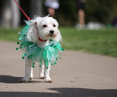 St.Patrick's day doggie (San Diego Shooter) Tags: portrait dog cool sandiego streetphotography uncool stpatricksday cool2 dogincostume stpatricksdaysandiego sandiegostreetphotography uncool2 uncool3 uncool4 uncool5 uncool6 uncool7 stpatricksday2011 stpatricksdaysandiego2011 stpatricks2011