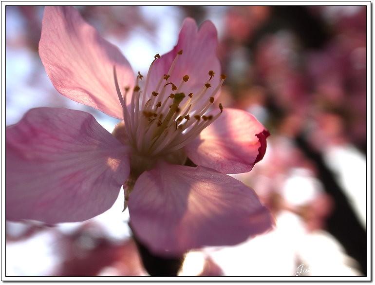 櫻花 (20)