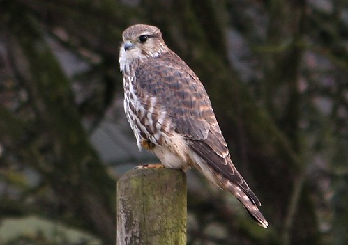 Merlin, Newton Marsh