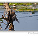 The darter or snakebirds (Anhinga melanogaster)
