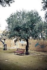 Junto al olivo (grego.es) Tags: sevilla rboles jardines 2011 rboles sonyalpha700 labuhaira rboles wwwgregoes jpa015