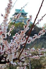 Blossoms and castle (MaineIslandGirl) Tags: castle japan blossoms plum osaka