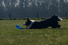 3/12 (B) (fotoham) Tags: dog blackwhite frisbee bordercollie indi musles sigma70300mmf4056dgmacro nikond3000 12monthsfordogs