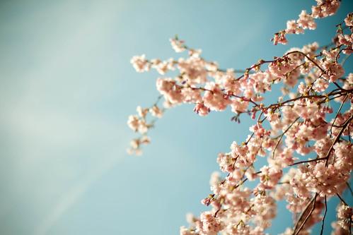 C'est le printemps ! Prunus en fleurs
