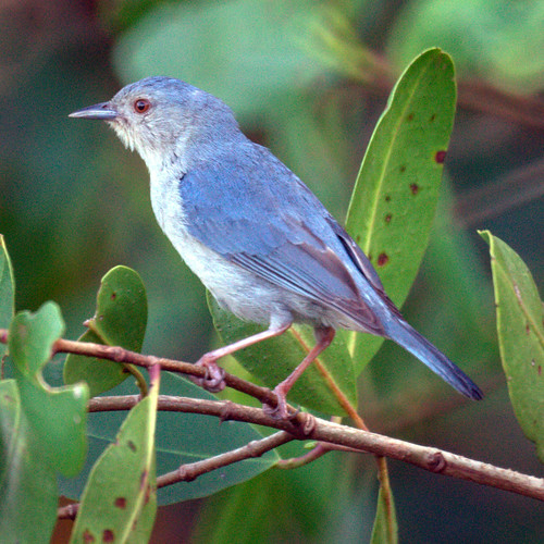 Bicolored Conebill (male)