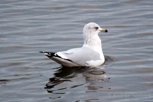 Ring-billed gull (Larus delawarensis)-2.jpg