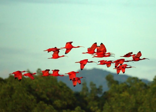 Scarlet Ibises in Flight