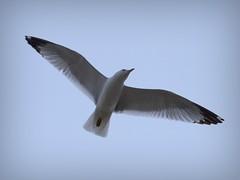 park toronto ontario canada bird fly seagull gull air prey smythe