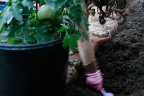 Planting the tomatoes
