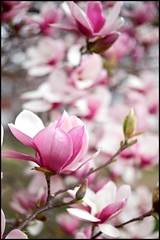 Spring is here! (Bettina Woolbright) Tags: pink flower tree zeiss 50mm spring magnolia f2 bud planar zeiss50mm 5d2 zeissze zeissf2