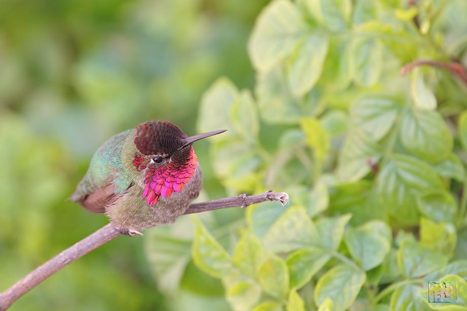 Anna's Hummingbird 032211-0