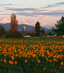 Daffodils & weather vane (i8seattle) Tags: flowers mountain mountains clouds sunrise washington tulips mount valley cascades pacificnorthwest skagit washingtonstate daffodils skagitvalley skagitvalleytulipfestival tulipfestival panorma skagitcounty tulipfields tulipsfestival skagittulipfestival skagitvalleytulips northwestimages northwesternimages andyporterphotography northwesternimagescom washingtonphotography imagesofwashingtonstate picturesofwashingtonstate picturesofthepacificnorthwest imagesofthenorthcascades imagesofwashington photosbyandyporter