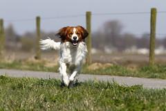 Dukky rent (NLHank) Tags: dog canon eos running hond 7d rennen 70200 kooiker kooikerhondje eos7d kooikertje dukky