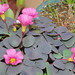 Oxalis purpurea 'Garnet' 植株