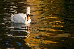 Self Reflection (Swan On Golden Canal), Harefield (flatworldsedge) Tags: light reflection water river gold canal swan glossy ripples liquid impressionist grandunion harefield explored yahoo:yourpictures=reflections yahoo:yourpictures=waterv2