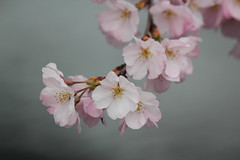 Cherry blossoms / 桜の花