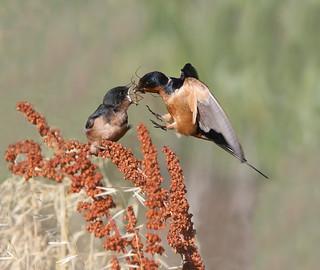 Cliff Swallow feeding a baby