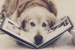 13/52 a very important dog (Ciscolo) Tags: dog goldenretriever book photobook cisco blurb vid 1352 thelittledoglaughed 52weeksfordogs ciscosbook veryimportatntdog