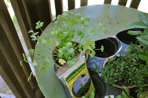 laksa plant. laksa plant. review is theythis year Frost tender rau plantthe coriander