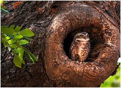 Spotted owlet_1677d (Swaminathan.M) Tags: india nature birds owl chennai spottedowlet loyolacollege sigma500