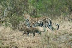 Leopard And Cub (Makgobokgobo) Tags: leopard predator mammal masaimaranationalreserve masaimara mara kenya africa pantherapardus phantera