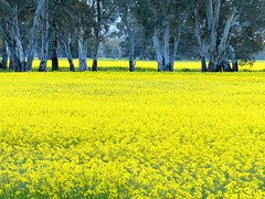 More rapeseed farm interspersed with Eucalyptus trees (PsJeremy) Tags: rapeseed canola gumtree yellow australia victoria grampians sunny spring flowers
