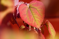 (evisdotter) Tags: leaf lv light colors bokeh macro sooc autumn hst texture red