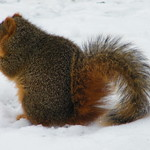 Squirrels at the University of Michigan in Winter thumbnail