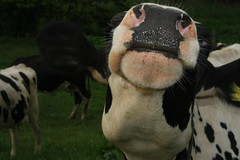 what up cow? (Atom Heart Mallary) Tags: wet closeup nose cow pennsylvania ears moo whiskers spots