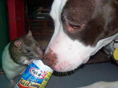Sharing is so nice (angeljohnting) Tags: pit pitbull rats terriers fancyrat fancyrats cutepictures unusalanimalstogether