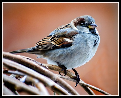 Mr. Male House Sparrow