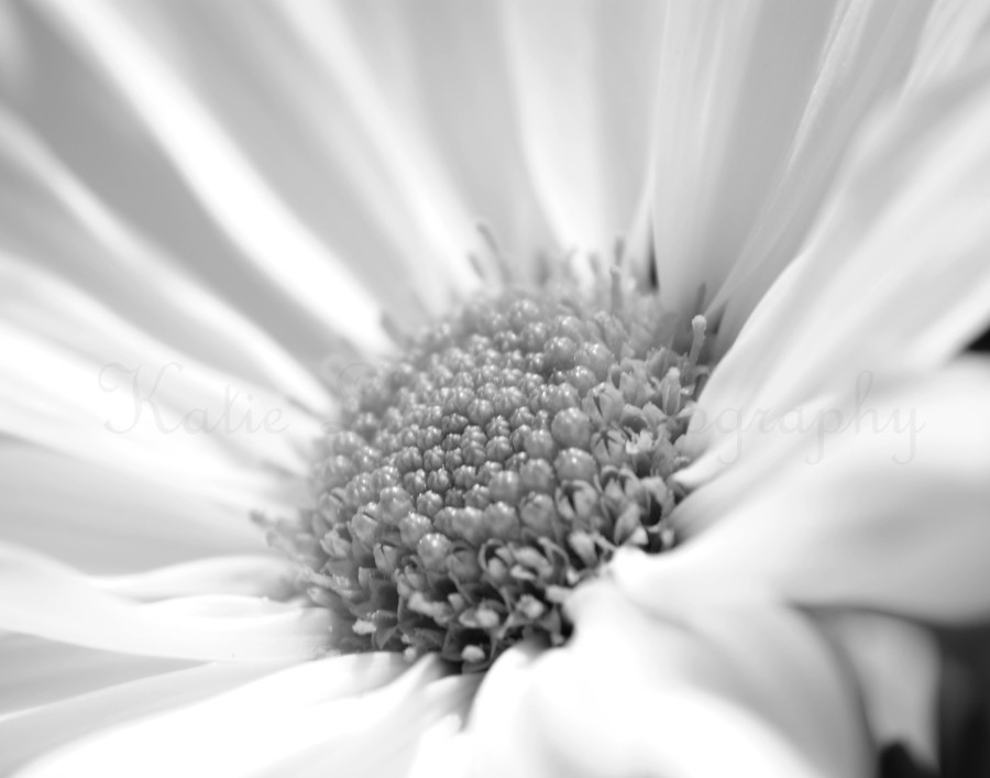 daisy-black-and-white-3