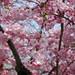 La primavera esplode a Colle Moro Resort: i ciliegi davanti a casa
