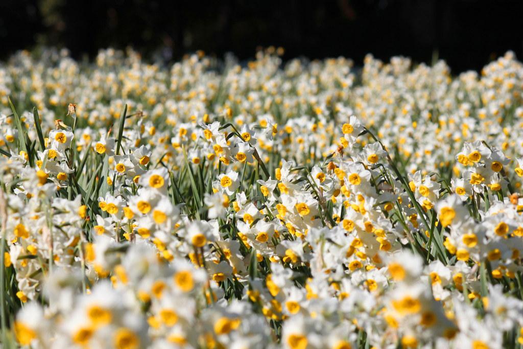 Kasai Rinkai Park Narcissus Festival (5)