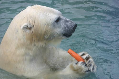 Polar bear lunch