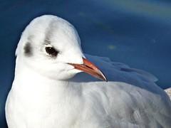 Lazise (Vr) - Piccolo e timido (Lakegull) (Luigi Strano) Tags: italy birds europa europe italia uccelli verona lakegarda lagodigarda veneto lazise птицы
