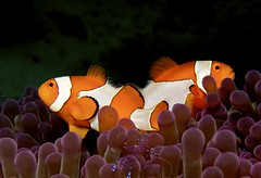 Clownfish w/ Shrimp in Foreground (bizmarkie812) Tags: indonesia raw shrimp clownfish anenome rajaampat