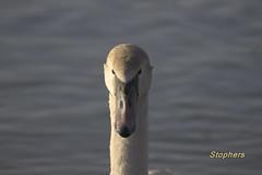 440. Ung svane (Berit Christophersen) Tags: birds swan sony muteswan cygnusolor stensjvannet knoppsvane