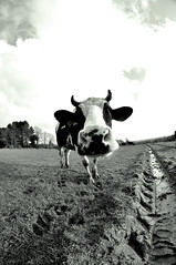 La vache qui rit ? (kimcass) Tags: fisheye champ vache kimcass