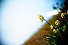 hope brings me flowers (moaan) Tags: life leica sky flower digital 50mm flora dof bokeh bluesky f10 utata flowering noctilux february wildflower narcissus m9 latewinter 2011 inlife leicanoctilux50mmf10 leicam9 gettyimagesjapanq2