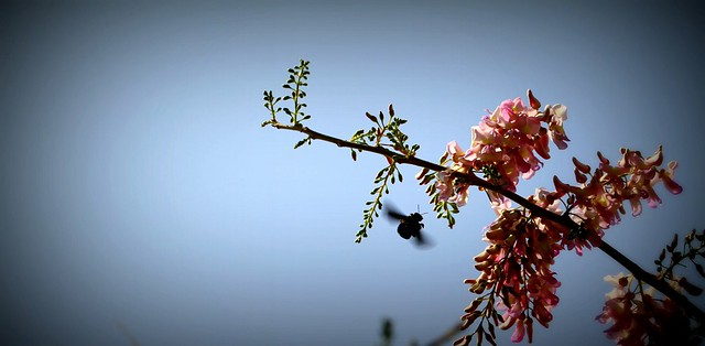 black bumble bee - hovering